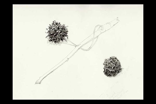 Sweetgum Fruits, 2010, graphite, 12x9""